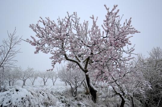Almond_tree,_snow.